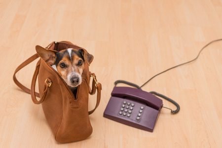 Little cute dog sits in a brown handbag and looking up at the phone - Jack Russell Terrier Foto de archivo
