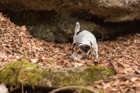 dog follows a track - 10 years old jack russell Terrier Banque d'images