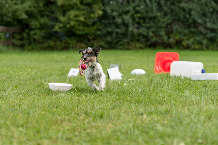Jack Russell Terrier doggy. Little obedient dog retrieves a toy from a crowd of objects
