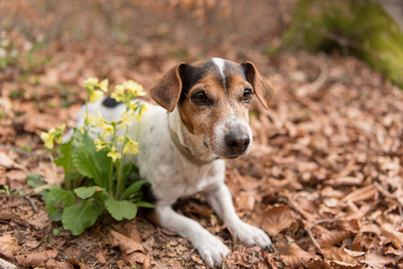 little dog in the spring forest - Jack Russell Terrier Hound 10