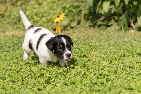 puppy dog ​​runs alone in the garden outside, Jack Russell Terrier doggy 5 weeks old