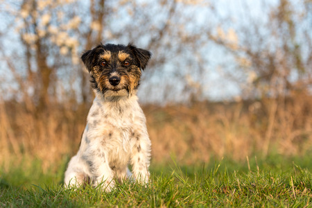 Dog sits obediently and proudly on a spring meadow - Jack Russell female 2 years old