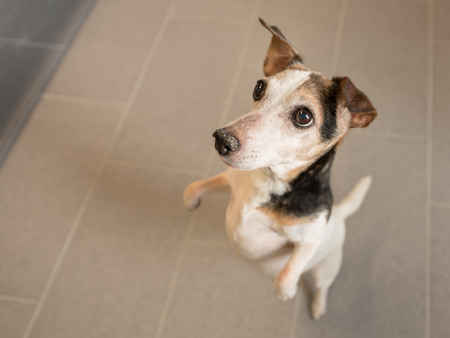 legs and looks upwards - Jack Russell Terrier Hound 12 years old, hair style smooth Stock Photo