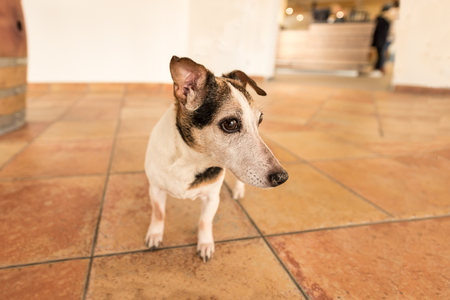 small dog is looking at tiles in a room and looking sideways, Jack russell terrier, hair style smooth