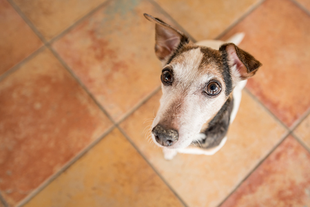 dog stands on his legs and looks upwards, Jack Russell Terrier Stock Photo