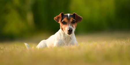 Proud dog is lying in front of tender background. Cute Jack Russell Terrier 10 years old - hair style smooth