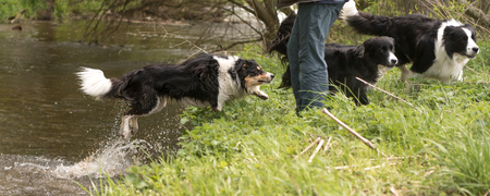 Dogs pack while walking by the water with their owner .- Several border collies