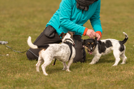 Jack Russell Terriers 10 and 2 years old Stock Photo