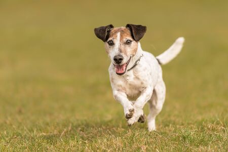 Jack Russell Terrier Hound 10 years old running and running over a green meadow in spring
