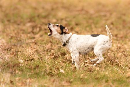 小さな犬が吠えている - ジャック・ラッセル・テリア
