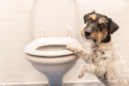 Hund auf der Toilette - Jack Russell Terrier Standard-Bild - 101493800