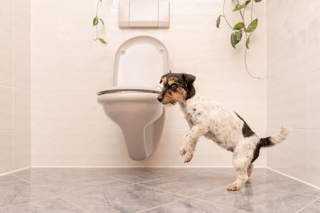 Hund tanzt auf der Toilette - Jack Russell Terrier Standard-Bild - 102036496