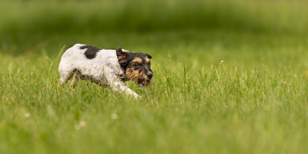 dog running across the meadow - cute Jack Russell Terrier 3 years old