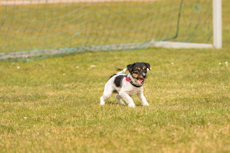 little dog is standing in the gate and is goalkeeper - cute energetic Jack Russell Terrier