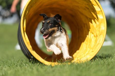 Dog runs through an agility tunnel - Jack Russell Terrier 版權商用圖片