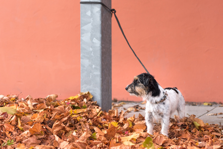 Jack Russell Terrier tethered to a pole or suspended. Dog is waiting for owner