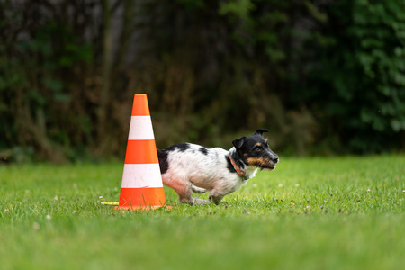 Small dog circulates on a cone or pylons. Cute Jack Russell Terrier doggy obedient while doing sports