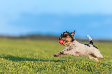 Dog with ball in his mouth is running across the meadow against a blue sky as background. Small cute Jack Russell Terrier 2 years old Stock Photo