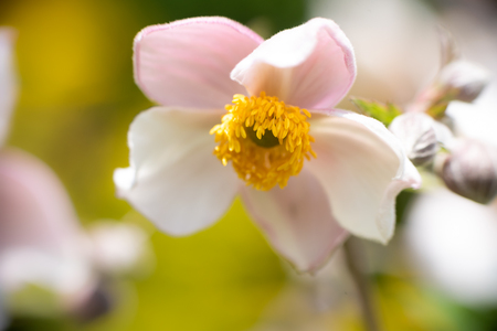 blooming anemone in front of tender background. anemone hupehensis Stock Photo