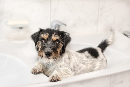 little dog relaxed in the washbasin - Jack Russell Terrier 2.5 years old Stock Photo - 108534332