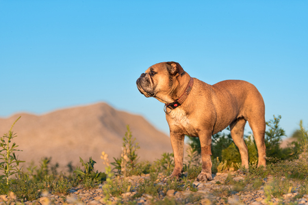Continental Bulldog and Labrador dogs. Two best friends in a meadow Banco de Imagens