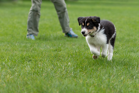 Dog handler is busy with his Border collie puppy. Doggy 8 weeks old Stock Photo