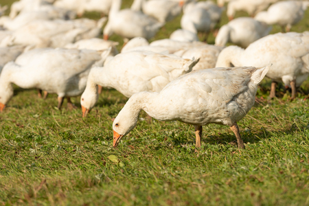 many geese on a meadow