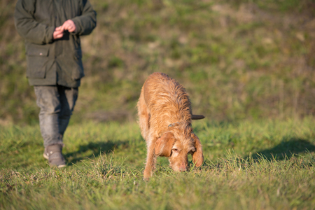 Magyar Vizsla 13 years old - Old dog is sniffing the grass and following a track Stock fotó
