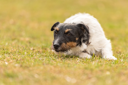 Obedient dog is lying alone on the floor in a green meadow and looks forward