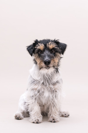 Little tricolor dog is sitting in front of white background. Jack Russell Terrier broken-haired