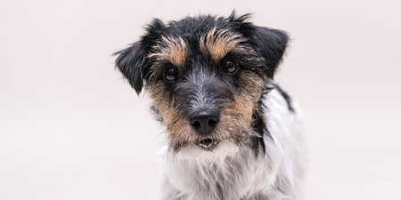 Jack Russell Terrier 2 years old dog - cute little doggy portrait isolated against white background Hair style - rough Banque d'images