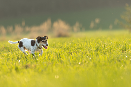 small dog runs and flies over a green meadow in backlight in summer in backlight - Jack Russell Terrier Hound 9 years old Banco de Imagens