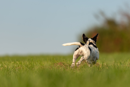 Jack Russell Terrier dog is running away over a green field. Cute runaway dog. Фото со стока