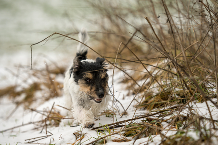small  naughty dog runs over a meadow in the snow in winter landscape - Cute Jack Russell Terrier hound, 4 years old, hair type rough