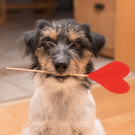 Cute romantic Jack Russell Terrier dog. Lovable dog is holding a heart to the Valentines Day in the mouth
