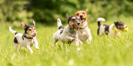 Many dogs run and play with a ball in a meadow - a cute pack of Jack Russell Terriers Stock Photo