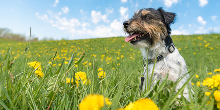 Cute Jack Russell Terrier dog are sitting in a meadow with dandelions in spring in front of blue background. smooth-haired 3 years old Archivio Fotografico - 115568549