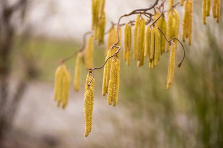 Corylus avellana. Hazelnut shrub in the early spring Reklamní fotografie