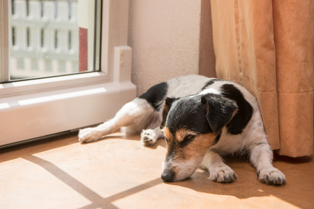 little funny cute Jack Russell Terrier dog lies on the side on the ground.
