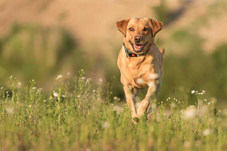 Labrador Redriver dog. Cute dog is running over a blooming beautiful colorful meadow