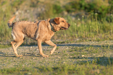 Labrador Retriever. Cute dog is running in natur in the season summer