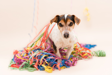 , Party Dog. Jack Russell ready for carnival