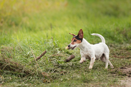 Cute small dog runs and flies over a green meadow in spring. Jack Russell Terrier Hound 10 years old