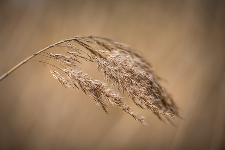 Beautiful dry reed before soft brown background Stock fotó