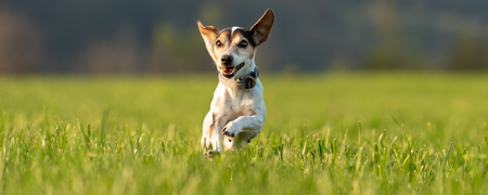 small dog runs and flies over a green meadow  in summer. Jack Russell Terrier Hound 12 years old