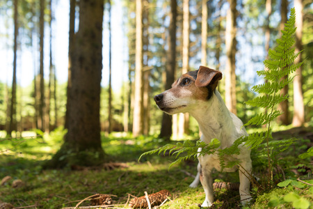 Small ute funny Jack Russell Terrier dog is sitting obediently in a sunny forest in front of blue sky