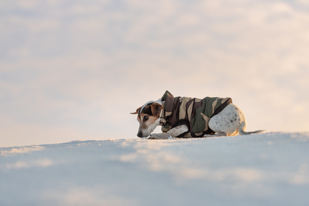 Small cute handsome Jack Russell Terrier dog with protective clothing in nature be on the move in front of atmospheric cloudy sky