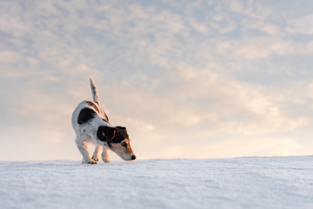 little cute handsome Jack Russell Terrier dog sniffs in front of atmospheric cloudy sky