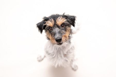 Jack Russell Terrier 4 years old with hair style  rough. Cute small little dog isolated against white background. Dog is looking up in a funny perspective