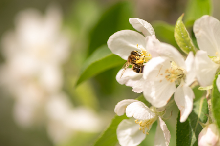 Honey bee is collecting pollen on a blossoming apple tree against blurred background Banco de Imagens